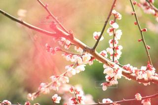 ピンクの花の木の写真・画像素材[1030224]