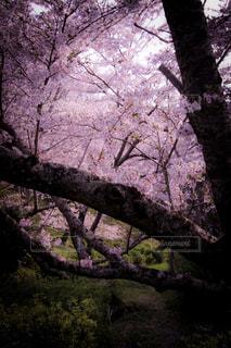 桜の写真・画像素材[1093646]