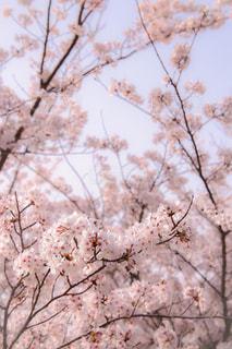 桜の写真・画像素材[1093647]