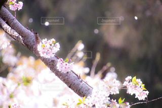 桜の写真・画像素材[1093649]