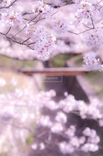 桜の写真・画像素材[1093651]