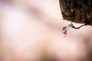 可愛い桜の蕾の写真・画像素材[1904594]