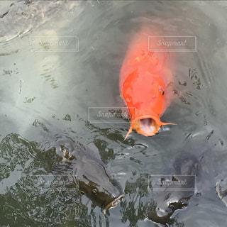 魚の写真・画像素材[696167]