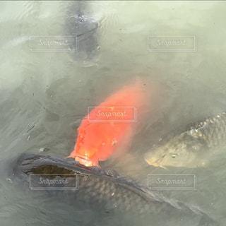 魚の写真・画像素材[696230]