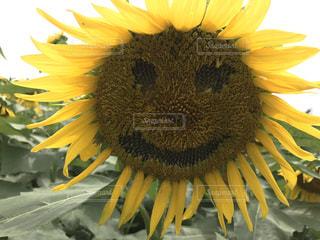 笑顔のひまわりさん🌻の写真・画像素材[697780]