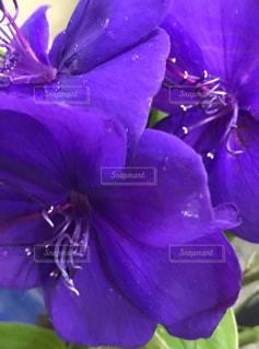 綺麗な紫色の花の写真・画像素材[734413]