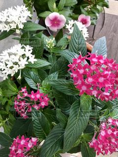 かわいいピンクと白い花🌸の写真・画像素材[739692]