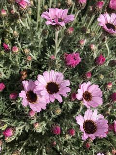 かわいいピンク色の花🌸の写真・画像素材[739842]