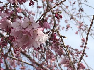 かわいい桜の花🌸の写真・画像素材[739843]