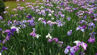 きれいなアヤメの花(*^^*)の写真・画像素材[744433]