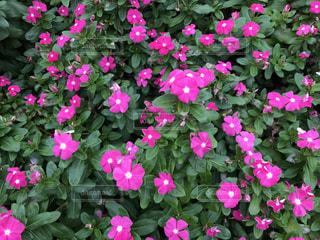 かわいいピンク色🌸の写真・画像素材[744468]