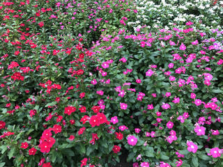 色鮮やかな花たち🌸の写真・画像素材[744473]