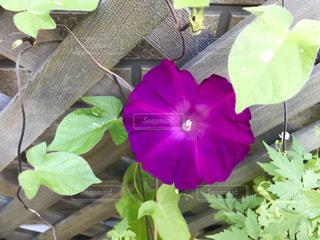 鮮やかな紫色のアサガオ🌸の写真・画像素材[757459]