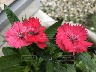 ピンクの撫子の花🌸の写真・画像素材[759203]