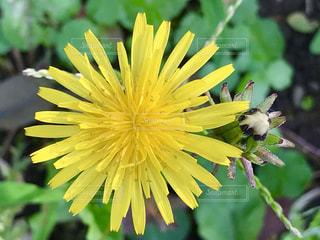 タンポポの花のアップ🌼の写真・画像素材[778391]