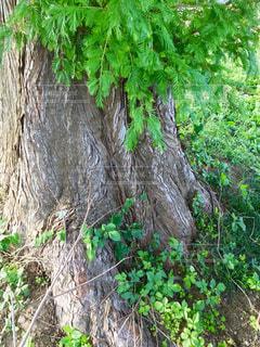 木の根元🌲の写真・画像素材[778445]
