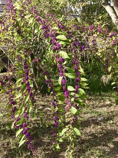 たくさん連なった紫色の実の写真・画像素材[779068]