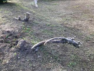 土の中から地上に出た根っこ🌲の写真・画像素材[780289]