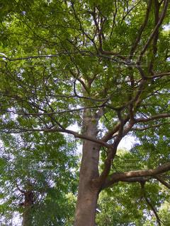 大きな木🌲おもしろい枝ぶりの写真・画像素材[781542]
