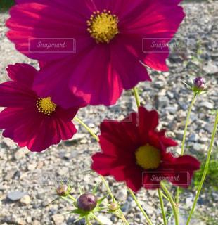 砂利道に咲くコスモス🌸の写真・画像素材[785318]