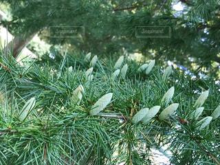 杉の木のアップ !白い蕾がいっぱい!😭花粉ヤバイの写真・画像素材[787701]