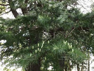 杉の木のアップ!白い蕾がいっぱい!😭花粉ヤバイの写真・画像素材[787706]