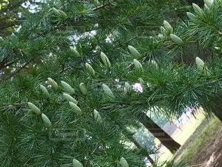 杉の木のアップ!白い蕾がいっぱい!😭花粉ヤバイの写真・画像素材[789334]