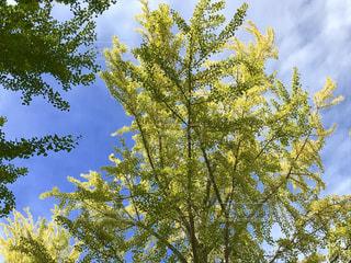 初秋の銀杏の木🌲の写真・画像素材[791059]