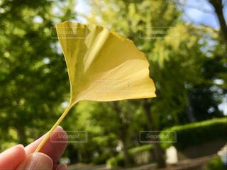 黄色い銀杏の葉♡♡の写真・画像素材[791060]