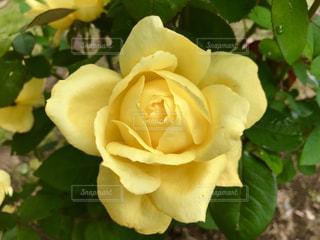 きれいなバラの花♪の写真・画像素材[791925]