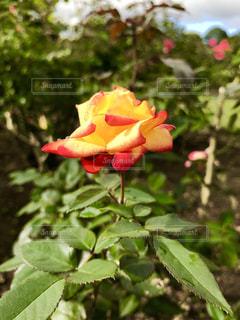 きれいなバラの花♪の写真・画像素材[791926]