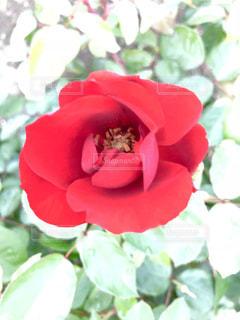 きれいなバラの花♪の写真・画像素材[791927]