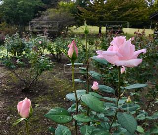 ピンクのバラの花🌹✨の写真・画像素材[791932]