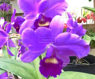 紫色のカトレア - No.792463