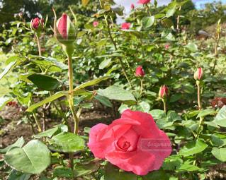 ピンクのバラの花🌹✨の写真・画像素材[792780]