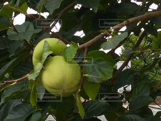 まだ緑色の柿の写真・画像素材[795407]