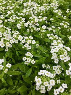 かわいい白い花🌸の写真・画像素材[811655]