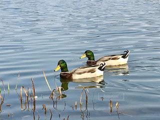 仲良く泳ぐ鳥の写真・画像素材[845807]