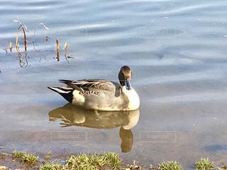 湖を泳ぐ鳥の写真・画像素材[845808]