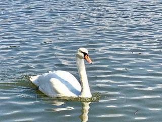 湖で泳ぐ白鳥(•ө•)♡の写真・画像素材[846292]