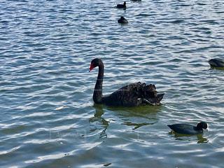 湖で泳ぐ黒鳥(•ө•)♡の写真・画像素材[846293]