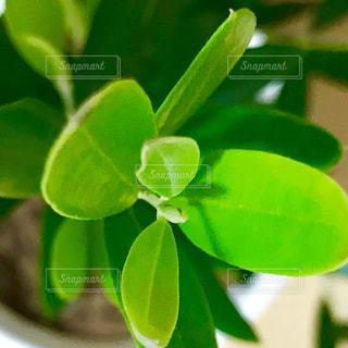 オリーブの葉のアップ🌿の写真・画像素材[853200]