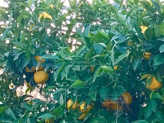 柚子の木🌳の写真・画像素材[869480]