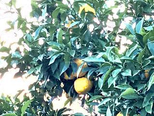 柚子の木🌳の写真・画像素材[869481]