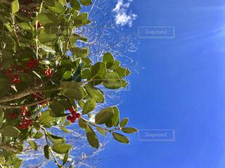 青空と赤い実のなる木の写真・画像素材[1000637]