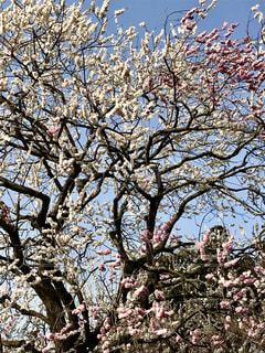 偕楽園の梅の花🌸1本の梅の木に白とピンクの梅の花🌸の写真・画像素材[1057422]