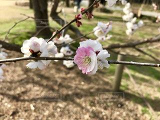 梅の花。淡いピンクと濃いピンクの花びら🌸の写真・画像素材[1076046]
