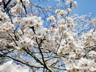 水戸の桜山🌸青空に満開の桜🌸💕の写真・画像素材[1089997]