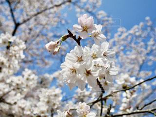 水戸の桜山🌸青空に満開の桜🌸💕の写真・画像素材[1089998]
