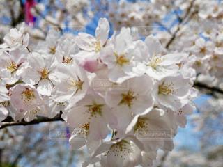 水戸の桜山🌸桜満開~🌸💕の写真・画像素材[1090009]